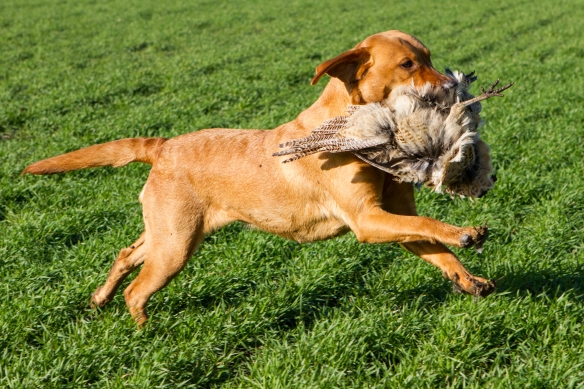 The Sporting Picture Gun Dog Photography-IMG_3413_001