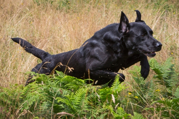 Gun Dog Photography